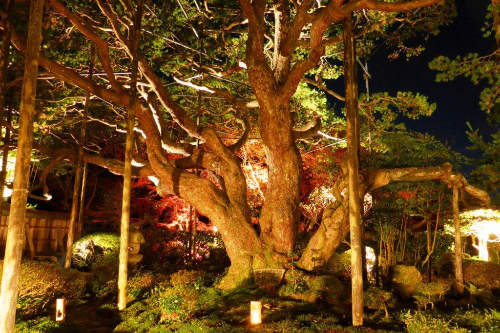 京都市左京区大原にある宝泉院の五葉の松(ライトアップ)(秋・11月)