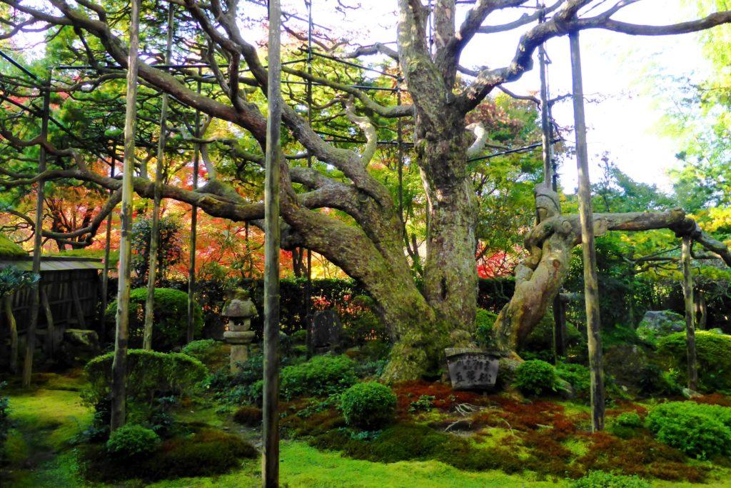 京都市左京区大原にある宝泉院の五葉の松と苔庭(秋・11月)