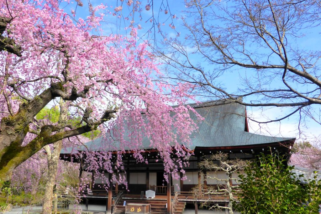 京都市右京区嵯峨(嵐山)にある天龍寺の多宝殿と桜(春・4月)