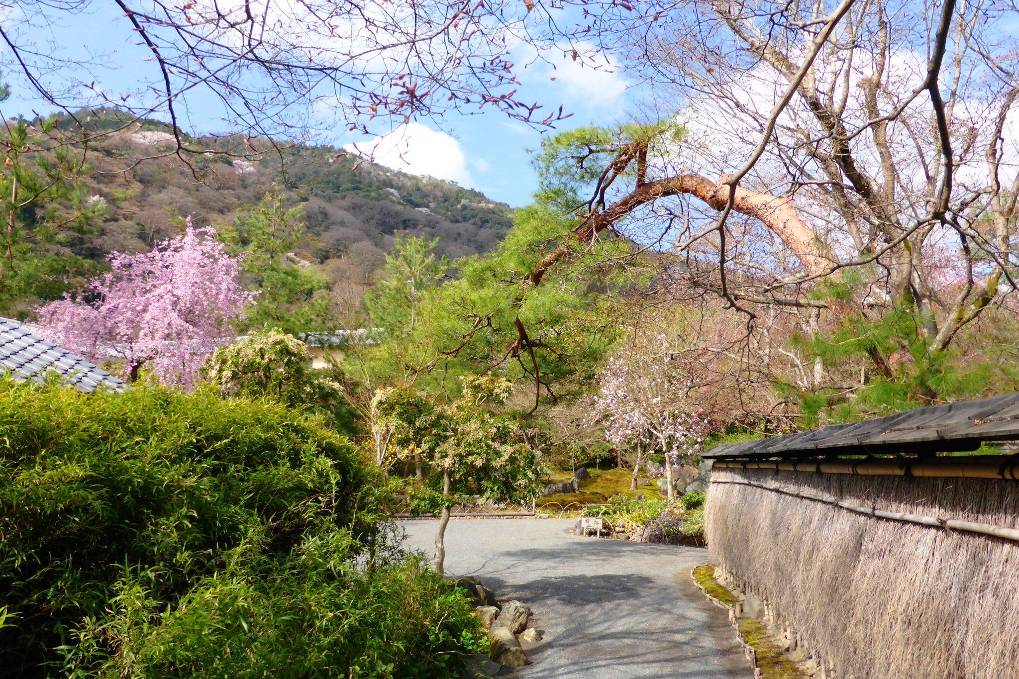 京都市右京区嵯峨(嵐山)にある宝厳院の獅子吼の庭と桜