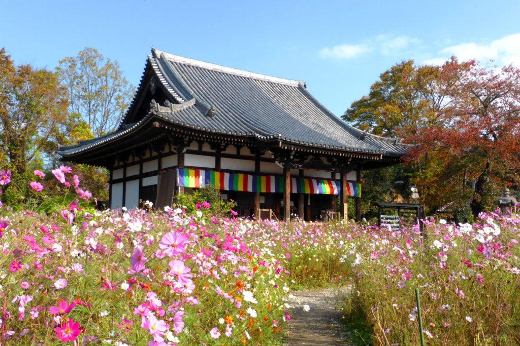 奈良市にある般若寺の本堂とコスモス(秋・11月)
