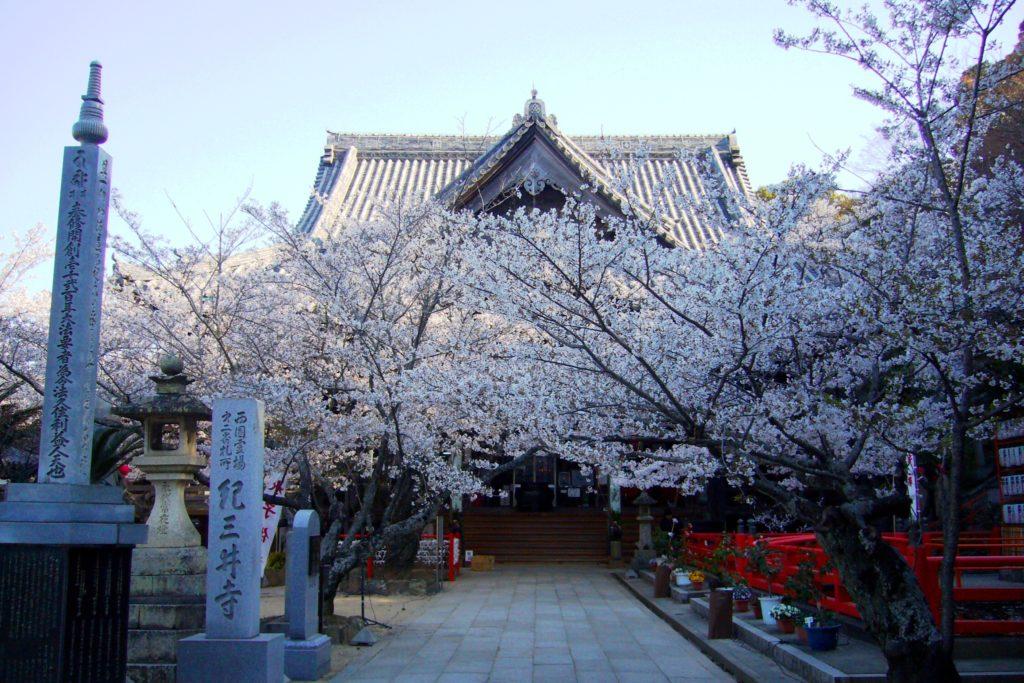 和歌山市にある紀三井寺の本堂と桜(春・4月)
