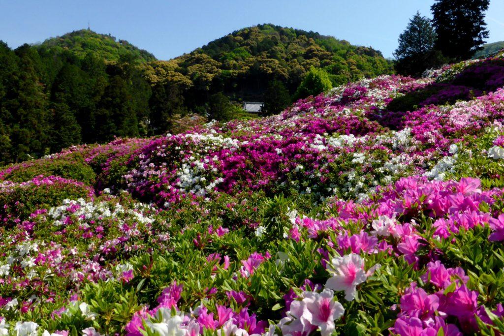 京都府宇治市の三室戸寺の境内のつつじ(春・5月)