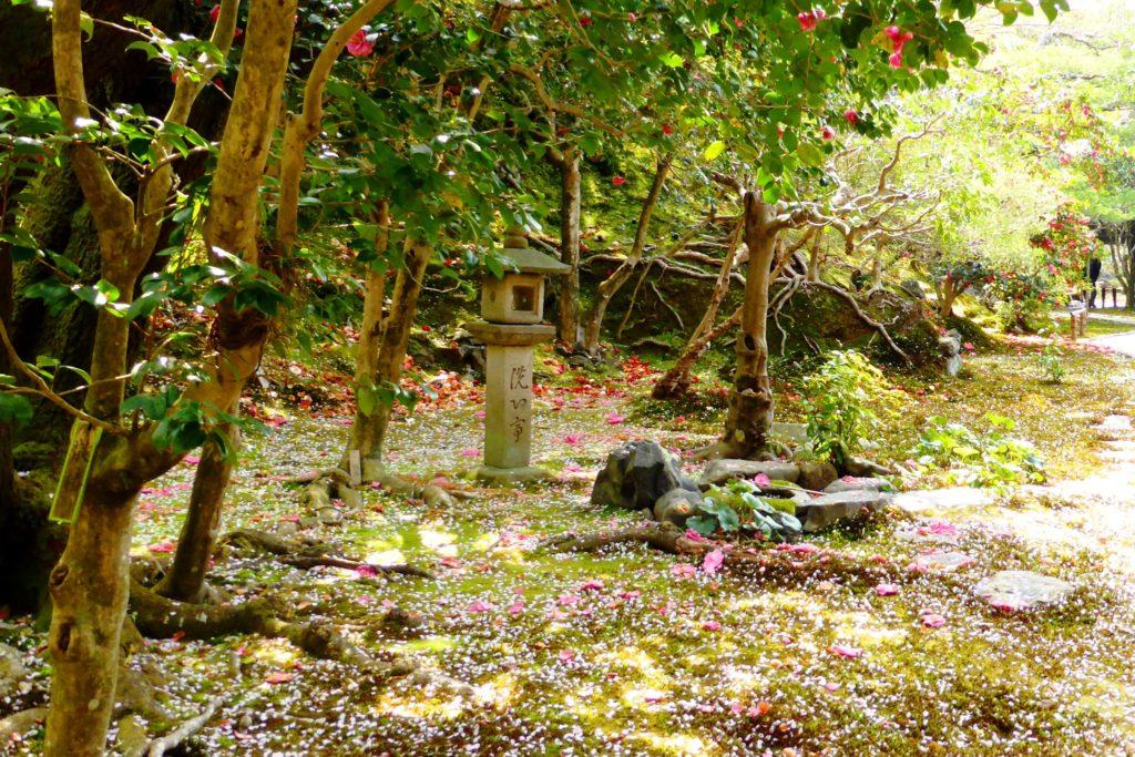 京都市左京区にある霊鑑寺の境内の椿(春・4月)