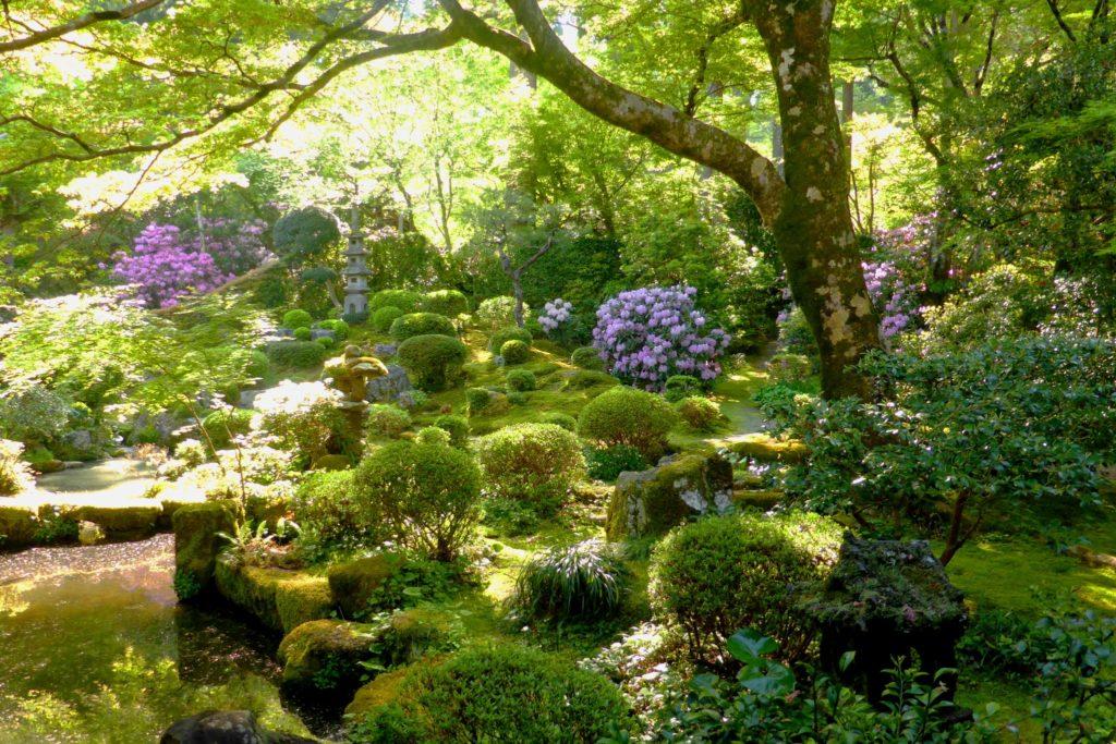 京都市左京区大原にある三千院の聚碧園の石楠花(春・4月)