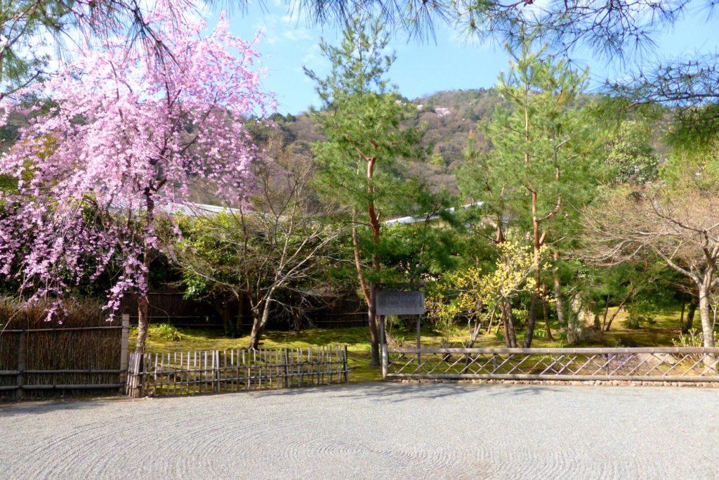 京都市右京区嵯峨(嵐山)にある宝厳院の獅子吼の庭の桜(春・4月)