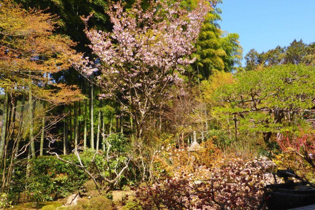 京都市左京区大原にある宝泉院の盤桓園と桜(春・4月)
