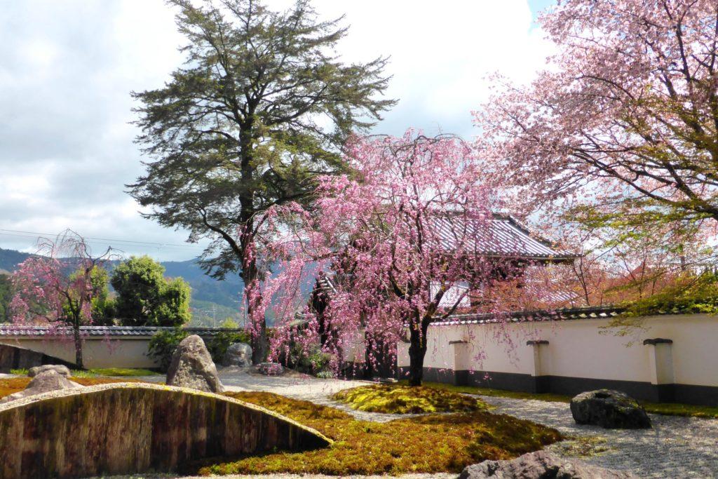 京都市左京区の実相院の庭園の桜(春・4月)