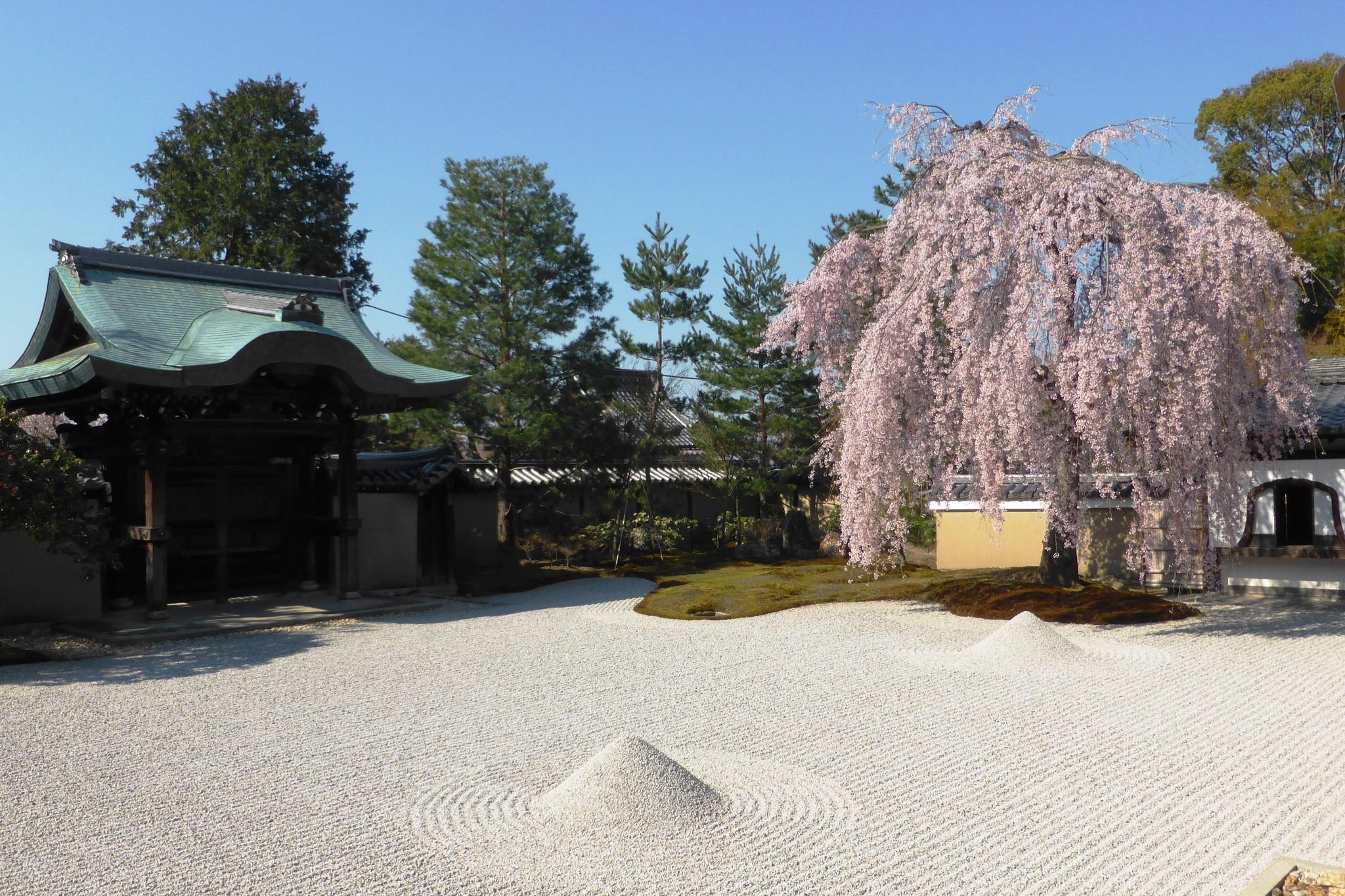 京都市東山区にある高台寺の方丈前庭と桜