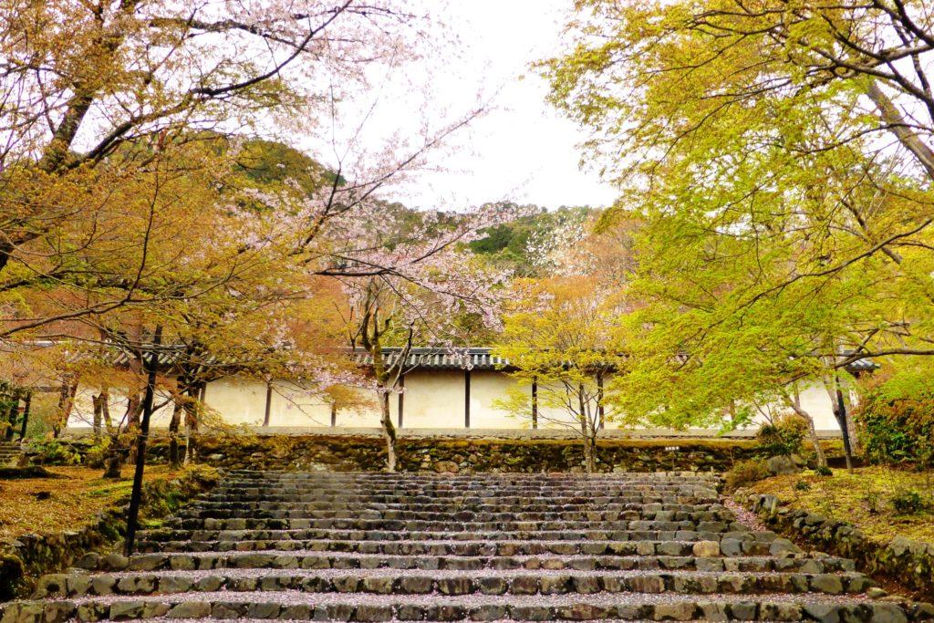 京都市右京区にある二尊院の参道の桜(春・4月)