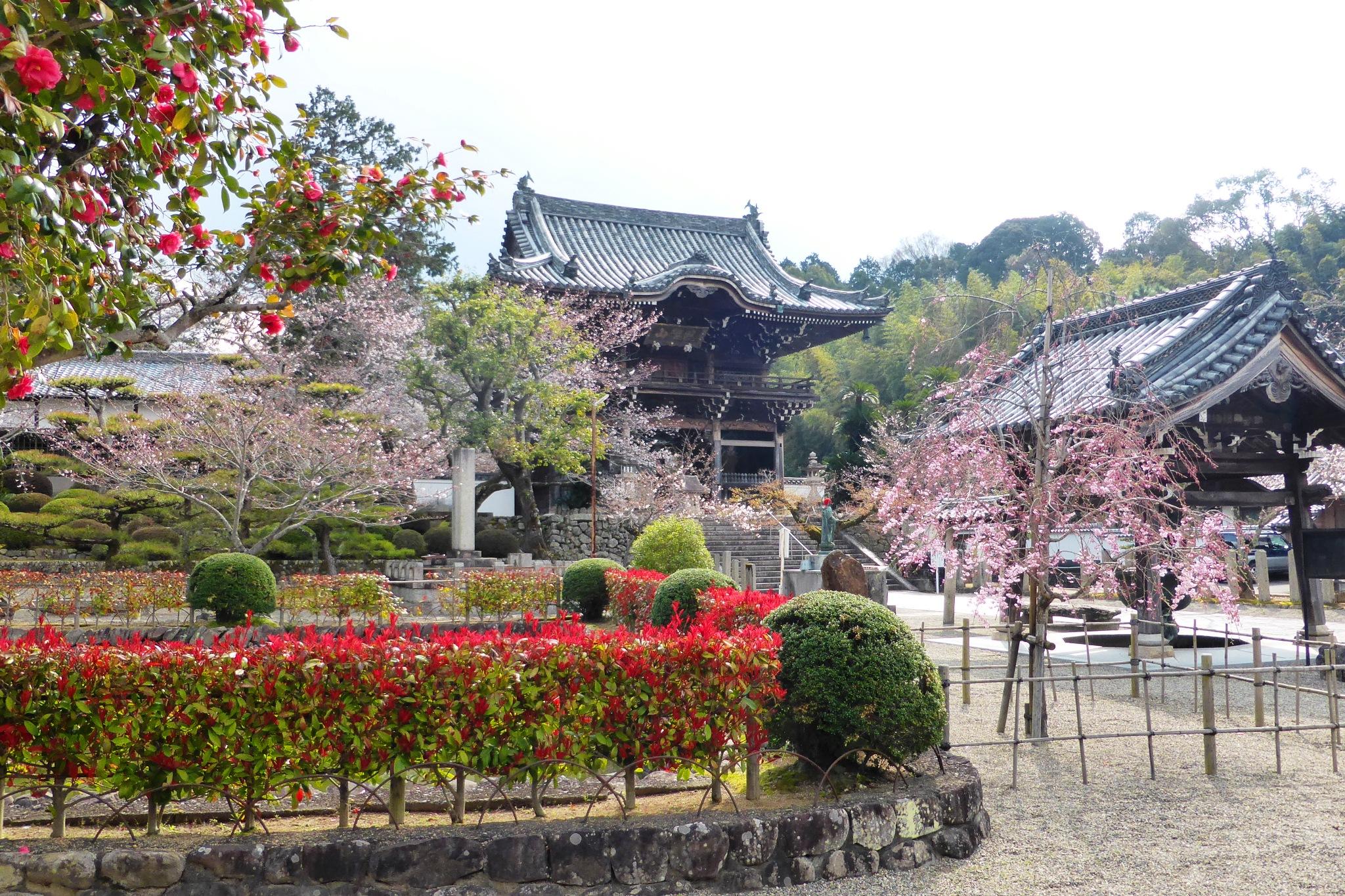 和歌山県紀の川市にある粉河寺の中門と桜と椿