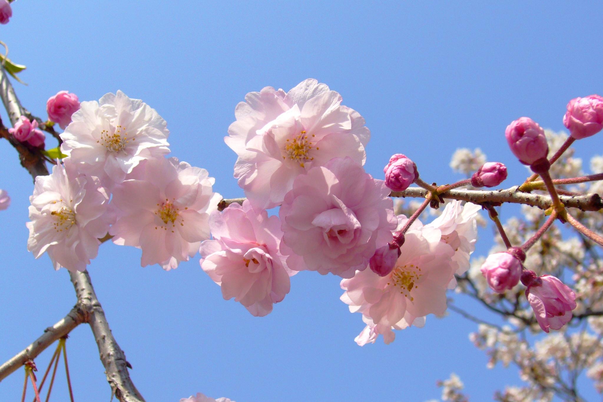 桜2048×1365