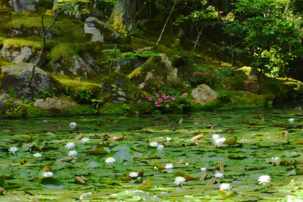 京都市左京区にある天授庵の庭園の睡蓮(夏・6月)
